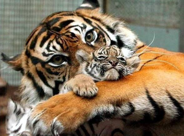 Фото приколы взгляд матери тигренка